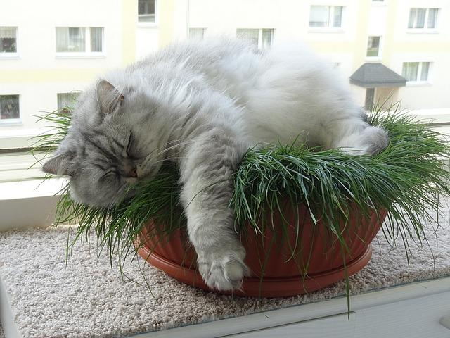 Výber mačky: krátkosrstá verzus dlhosrstá