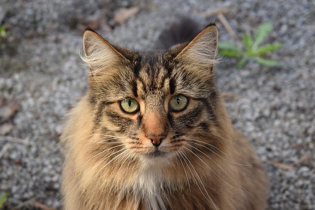 mourkovatá kočka